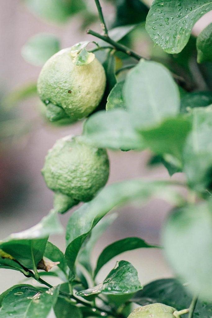 Villa Catureglio Tuscany Wedding Lemons